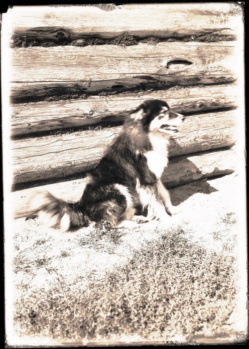 Остятская собака охраняющая дом.