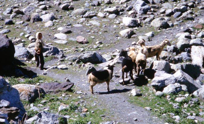 Маленький пастух со своим стадом в горном районе Грузии.