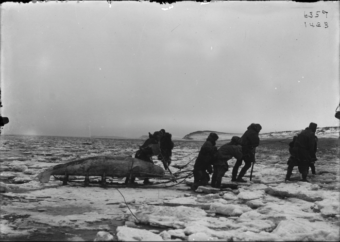 Коряки перетаскивают кита на санях. Пенжина, Камчатский край, 1900 год.