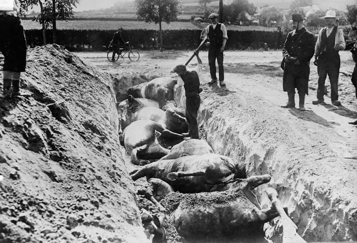 Мертвых лошадей хоронят в траншее после битвы при Haelen.
