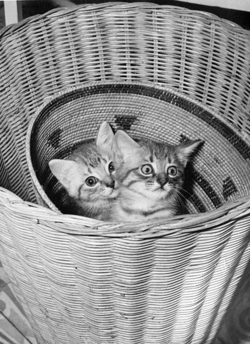 Котята Кристобаль и его сестра Иззи играют в корзине.