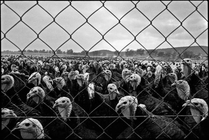 Птицеферма. Греческая Македония, 1988 год.