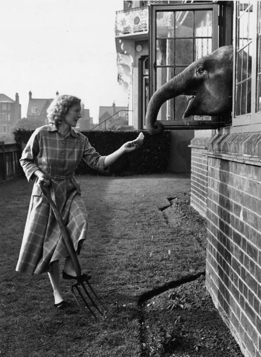 14-месячная индийская слониха Ева в доме миссис Рассел в городе Грейт-Ярмут.