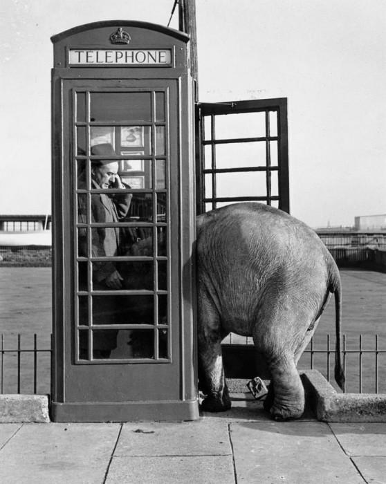 Индийский слонёнок втискивается в британскую телефонную будку, 1955 год.