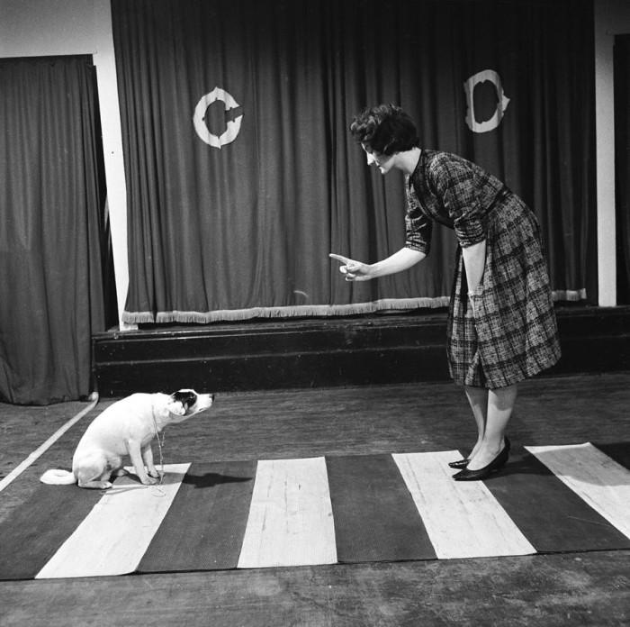 Собаку Роки учат вести себя на «зебре».