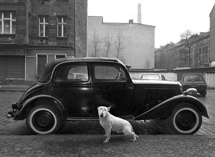 Бультерьер Рокки и Mercedes 1936 года.