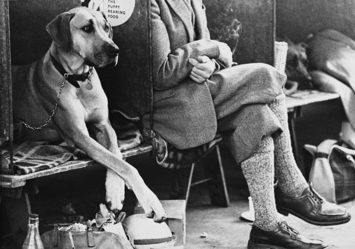 Публичная демонстрация породистых собак. Англия, Манчестер, 1966 год.