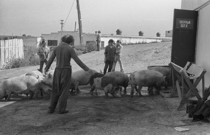 Загонщики на свиноферме. СССР, Новокузнецк, 1983 год. Автор фотографии: Vladimir Vorobyov.