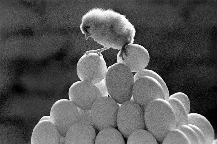 Цыплёнок на яйцах.