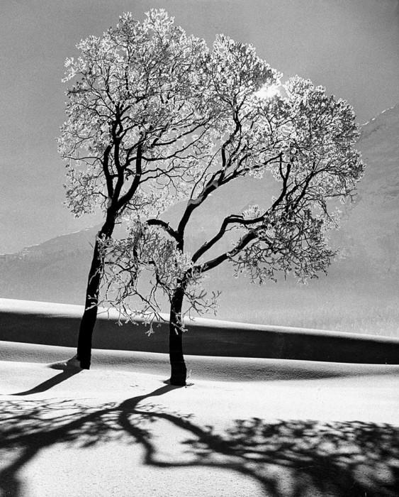 Деревья в снегу. Швейцария, коммуна Санкт-Мориц, 1947 год.