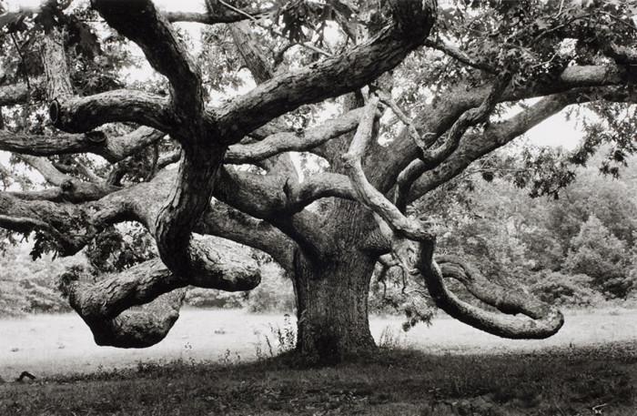 Огромный дуб в Тисбери, штат Массачусетс. США, 1968 год.