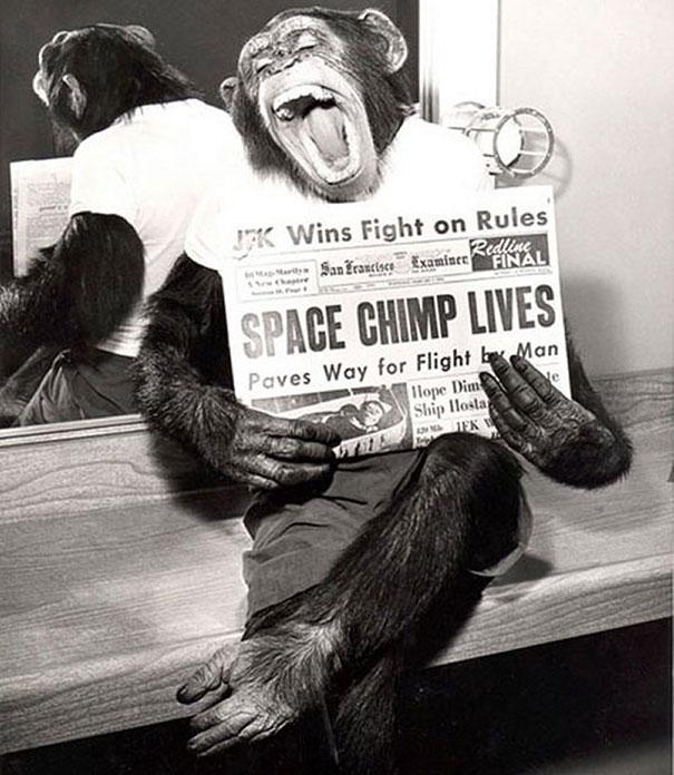 Шимпанзе-космонавт читает газету, 1961 год.