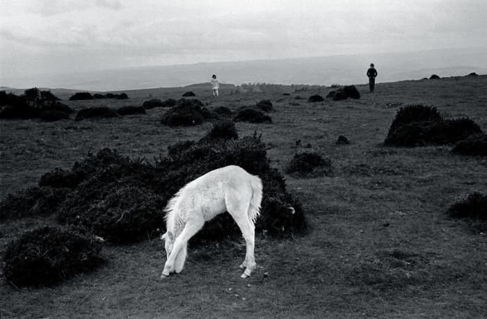 Уэльский горный пони. Великобритания, Уэльс, 1974 год.