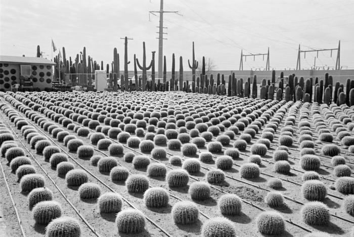 Выращивание дорогих кактусов. США, Аризона, 1977 год.