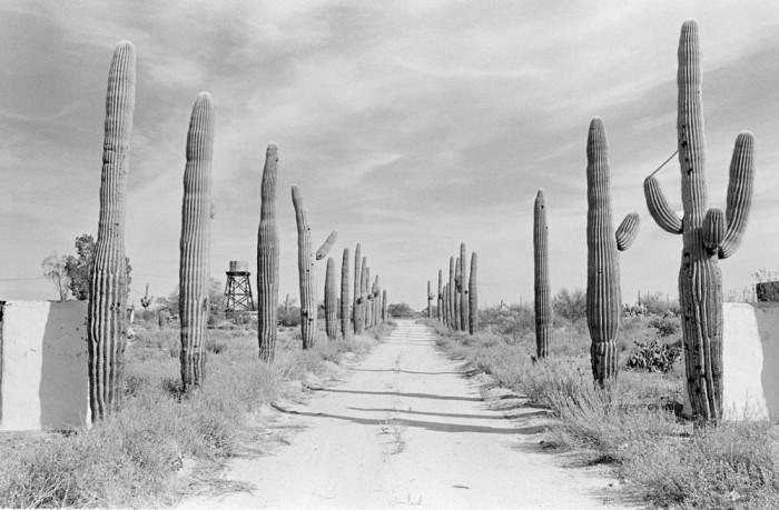 Гигантские кактусы в пустыне. США, Аризона, 1980 год.