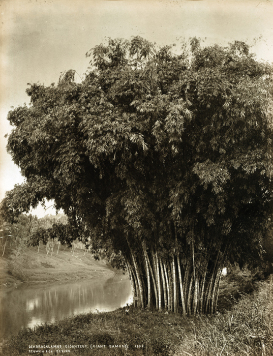 Большой зелёный бамбук.