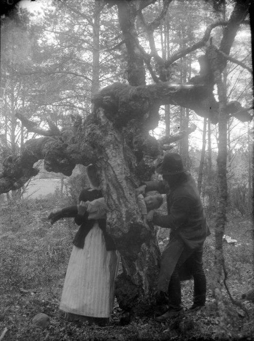 Попытка исцелить ребенка-рахитика путем протаскивания через дупло в целебном дереве. Швеция, 1918 год.