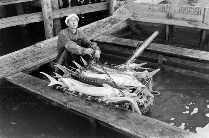 Подготовка пойманной рыбы к транспортировке. СССР, Астраханская область, 1960-е годы.