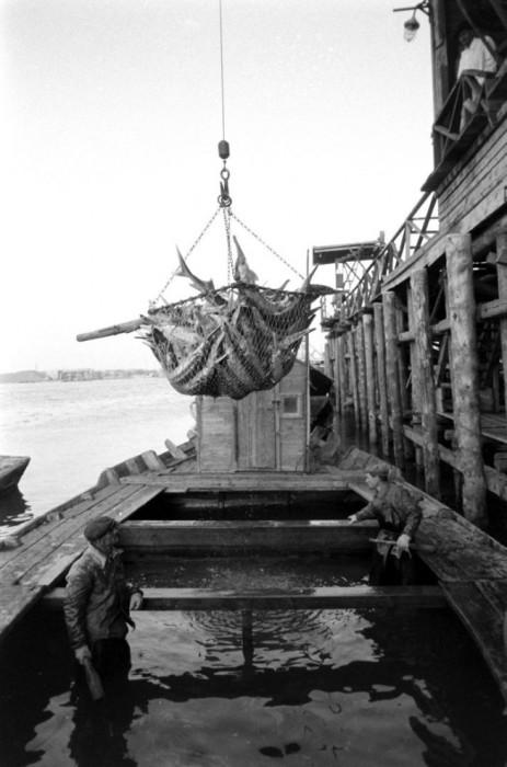 Погрузка пойманной рыбы. СССР, Астраханская область, 1960-е годы.