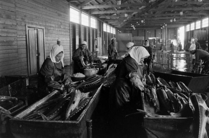 Разделывание осётра. СССР, Астраханская область, 1960-е годы.