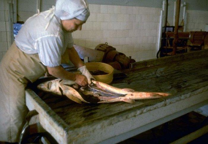 Женщина разделывает осетра. СССР, Астраханская область, 1960-е годы.