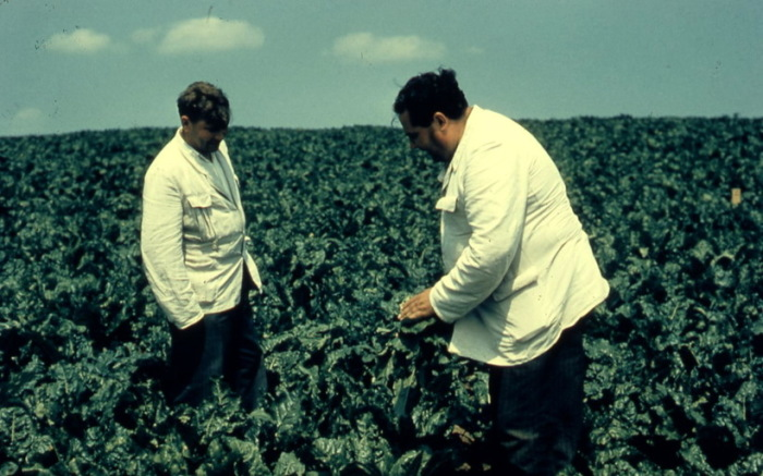 Рекордный урожай. СССР, Московская область, 1957 год.