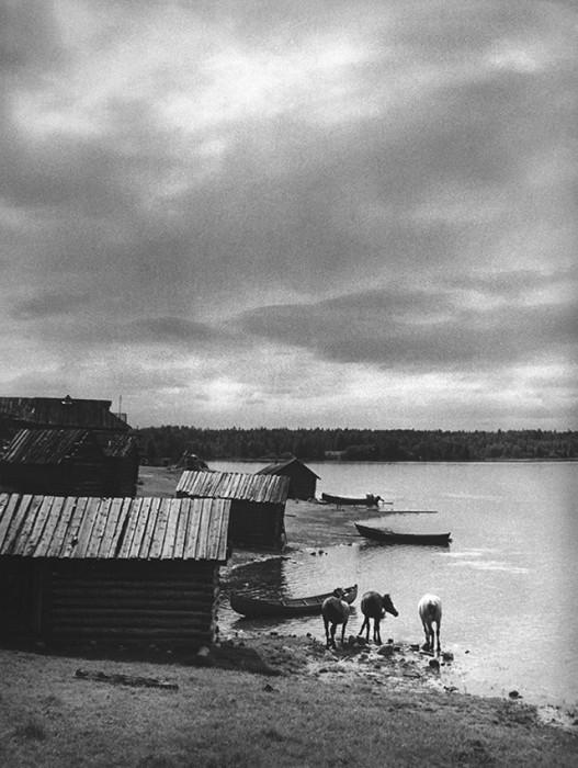 Дикие лошади. СССР, Кенозеро, 1970 год.