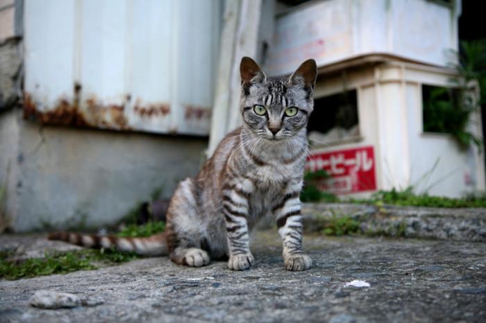 Котенок с острова Тасиро. | Фото: flickr.com.