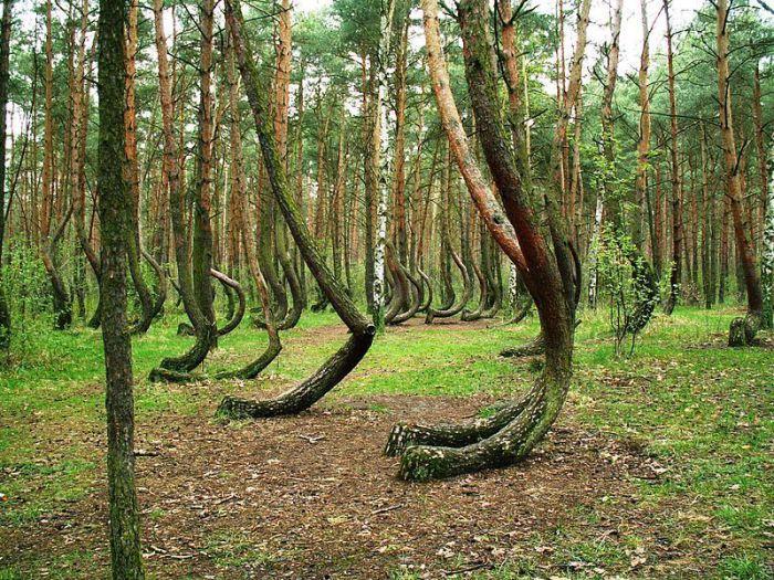 Причудливо искривленные деревья - происки дьявола и искусного мебельщика?