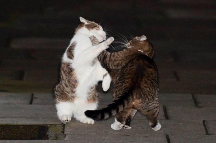 Ларри (слева) выясняет отношения со своей конкуренткой Фреей на Даунинг-стрит. | Фото: dailymail.co.uk.