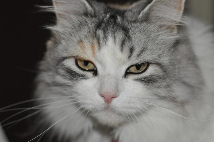 Пытается ли эта кошка сказать что-нибудь? | Фото: atlasobscura.com.