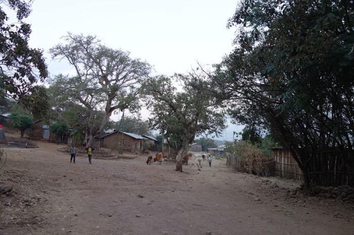 Мужчина гонит стадо крупного рогатого скота через деревню. | Фото: atlasobscura.com.