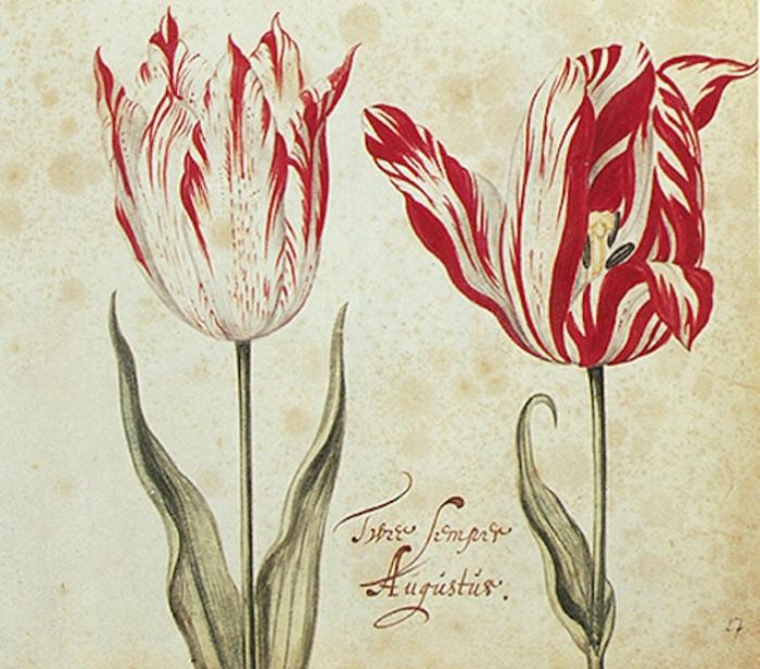 Тюльпаны сорта Semper Augustus. | Фото: atlasobscura.com.