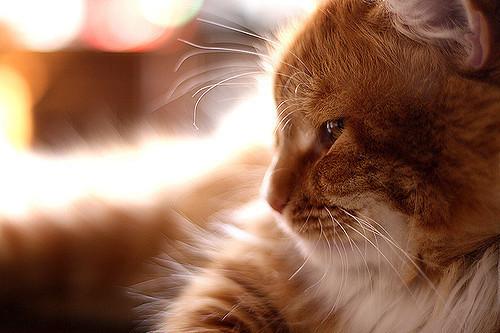 Кошки могут различать человеческие эмоции по выражению лица. | Фото: atlasobscura.com.