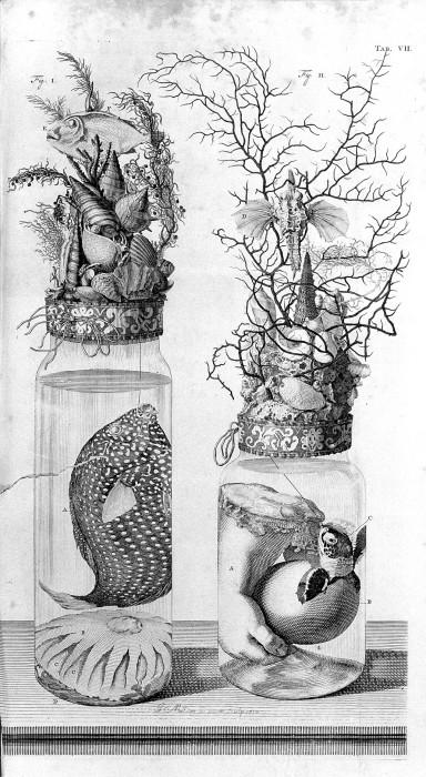 Заспиртованные части тела, рыбы и растении на гравюре Фредерика Рюйша. | Фото: commons.wikimedia.org.