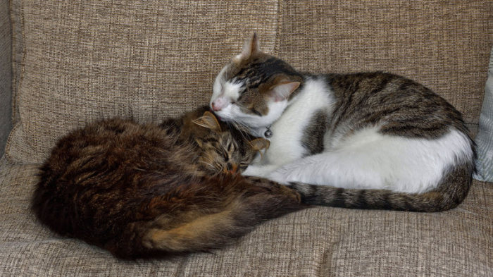 Ухаживание является кошачьим способом подтвердить установившуся связь. | Фото: atlasobscura.com.