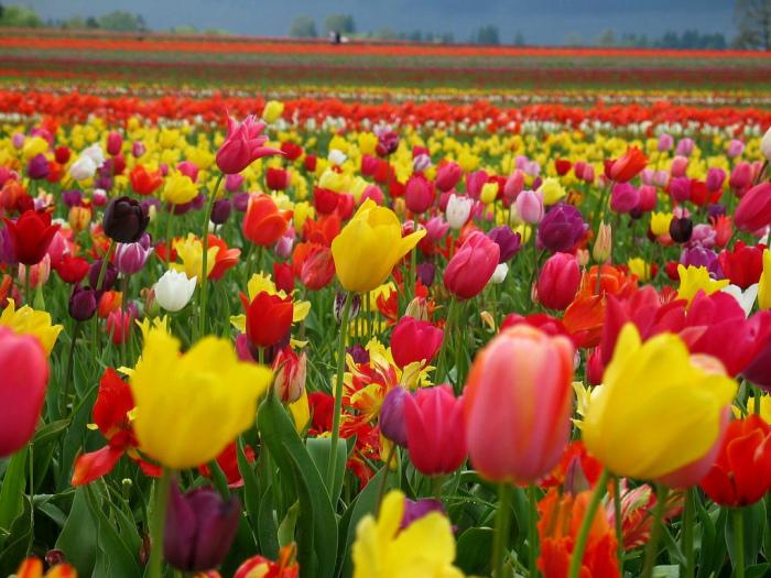 Тюльпановое поле в Голландии. | Фото: myths-made-real.blogspot.com.