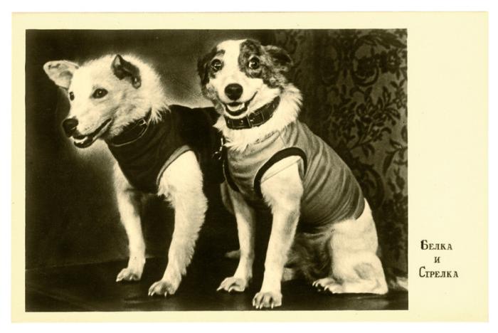 Фотография Белки и Стрелки с их первой пресс-конференции. Открытка 1960 года.