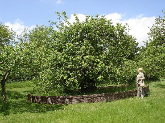 Яблоня, вошедшая в историю мировой науки. | Фото: uk.wikipedia.org.