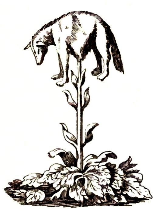 Это Дерево-агнец – одновременно и животное, и растение. Гравюра XVII века. | Фото: biodiversitylibrary.org.