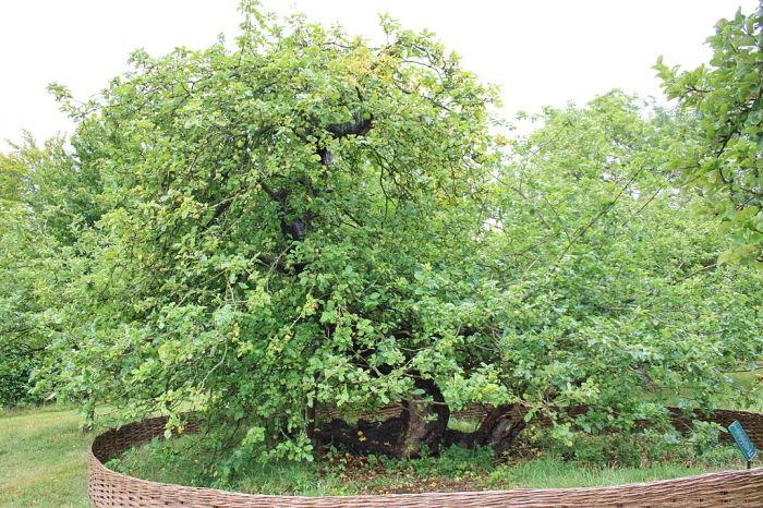 Дерево, с которого упало знаменитое яблоко. | Фото: en.wikipedia.org.