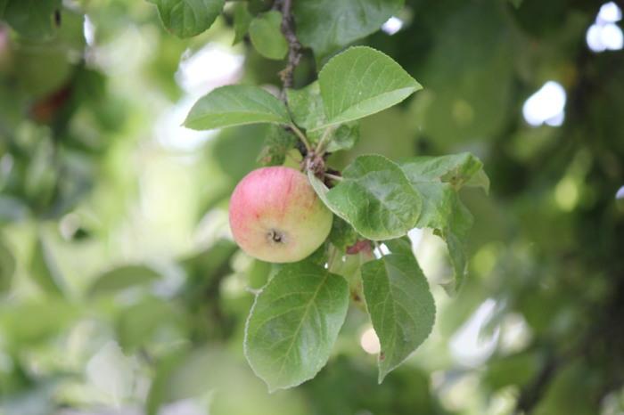 Яблоки являются плодом искушения и попыткой соблазнения пары на близость в китайской свадебной игре. | Фото: cc0.photo.