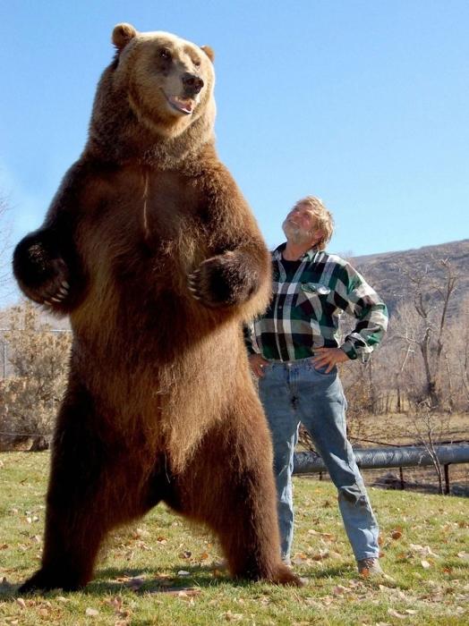 Американский медведь гризли. | Фото: vorchuchelo.com.