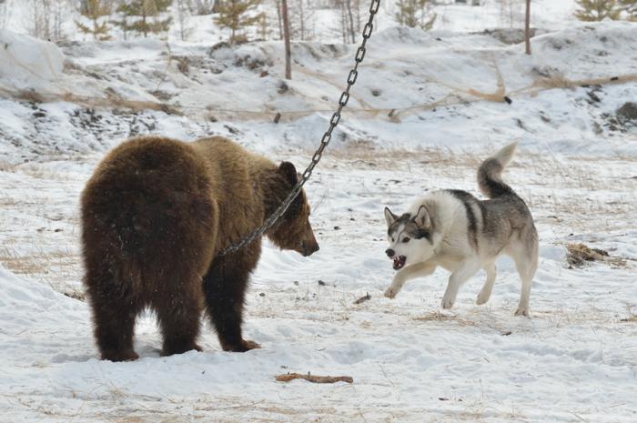 Травля медведя собаками. | Фото: sachaja.livejournal.com.