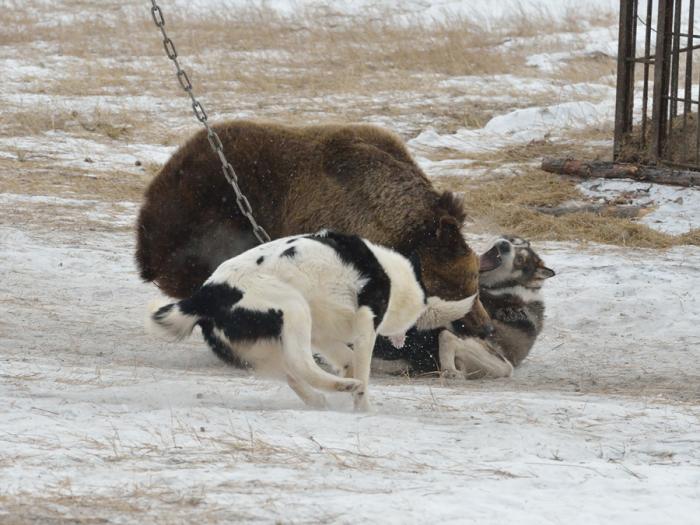 Схватка медведя с лайками. | Фото: sachaja.livejournal.com.