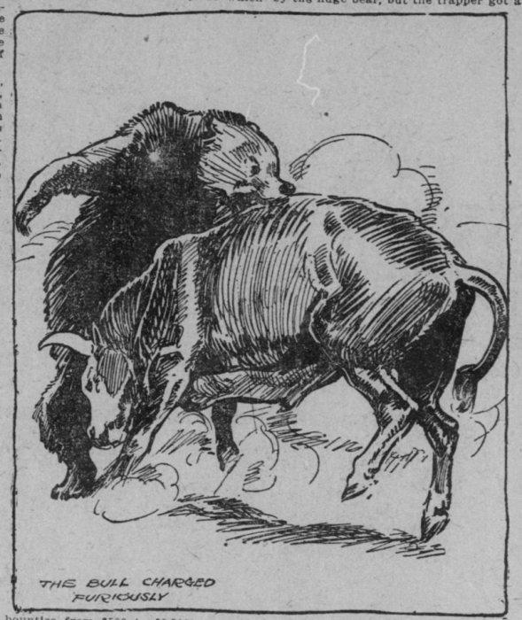 Бык яростно атакует медведя. Иллюстрация 1911 года. | Фото: chroniclingamerica.loc.gov.