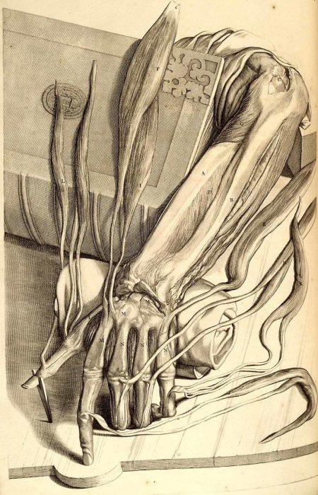 Рисунок руки из книги Anatomia humani corpois Говерта Бидлоо. | Фото: commons.wikimedia.org.