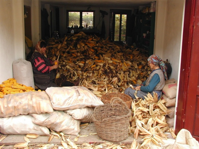 Чистка кочанов кукурузы в Бьертане. | Фото: biertan.ro.