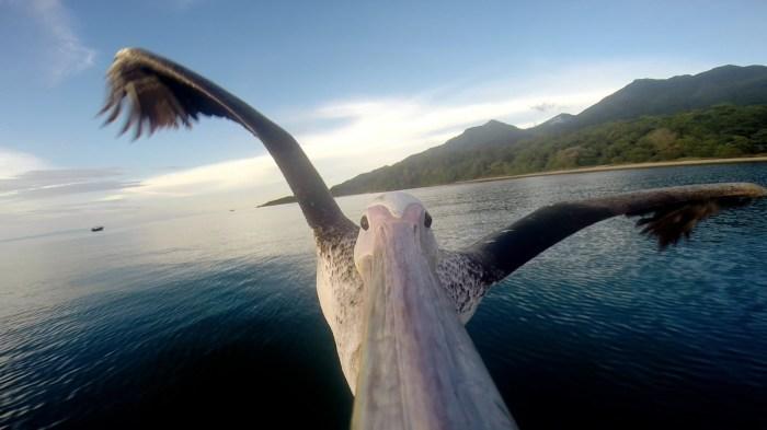 Пеликан, снимающий видео в полете. | Фото: youtube.com.