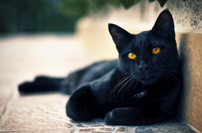 Черный кот - домашний любимец или исчадие ада? | Фото: lifewithcats.tv.